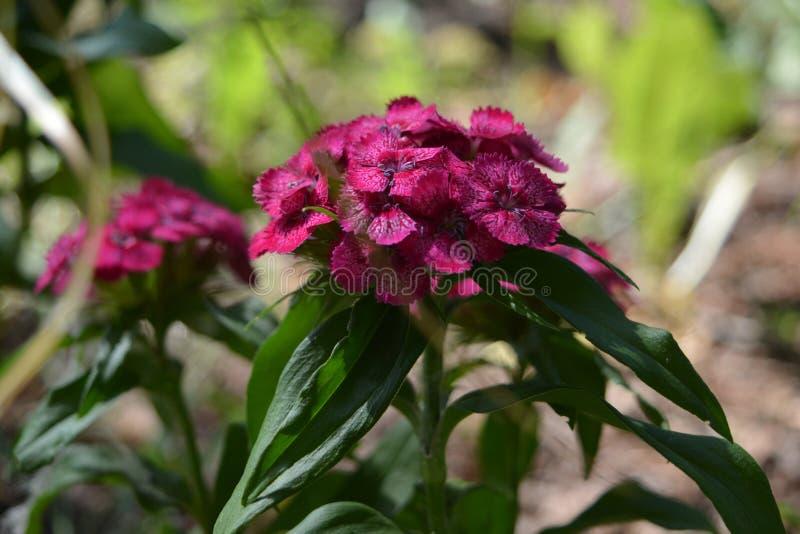 Dianthus barbatus Nahaufnahme von hellen rosa Blumen von den Nelken türkisch stockfotografie