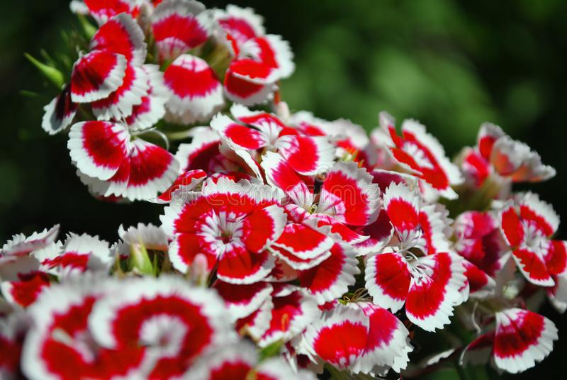 Dianthus barbatus Sweet William bright pink and white flowers blooming, green soft background stock image
