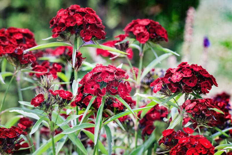 Dianthus barbatus or sweet William. Dianthus barbatus, sweet William, is a species of flowering plant in the carnation family, native to southern Europe and stock photos