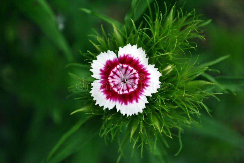 Dianthus barbatus Sweet William flower blooming, top view, green soft background. Bokeh stock photos