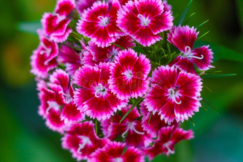 Dianthus barbatus, sweet william flower plant blooming over green background. Dianthus barbatus, sweet william flower plant blooming over green blurry background stock image