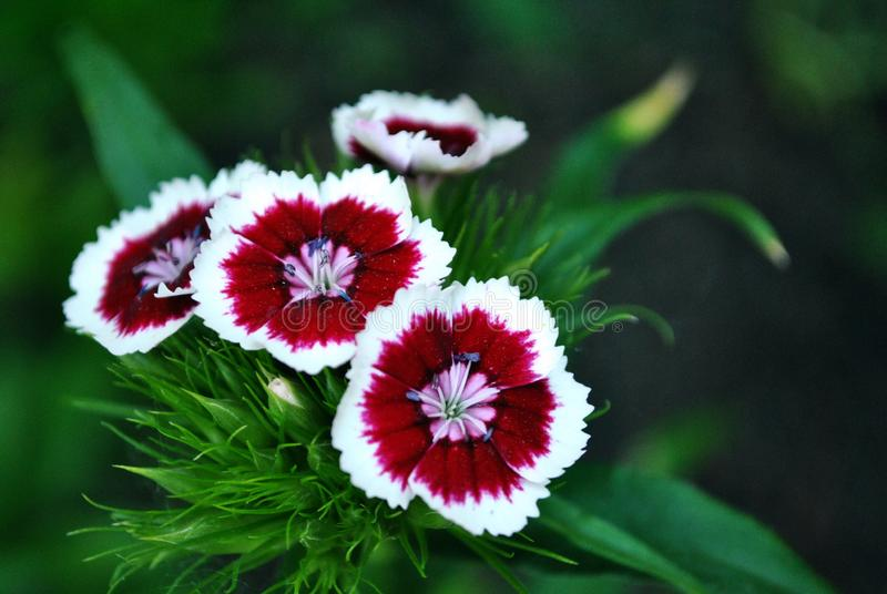 Dianthus barbatus Sweet William flowers blooming, dark green soft blurry background. Bokeh royalty free stock image