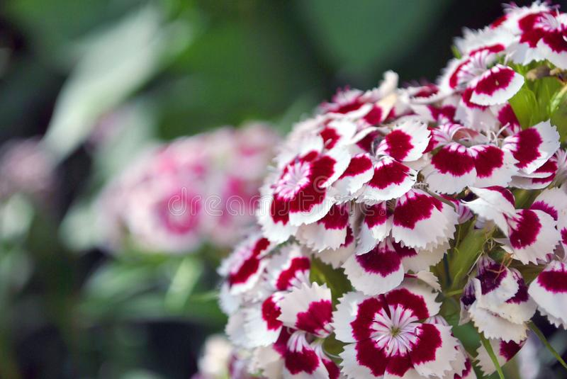 Dianthus barbatus Sweet William flowers blooming. Soft blurry background stock photography