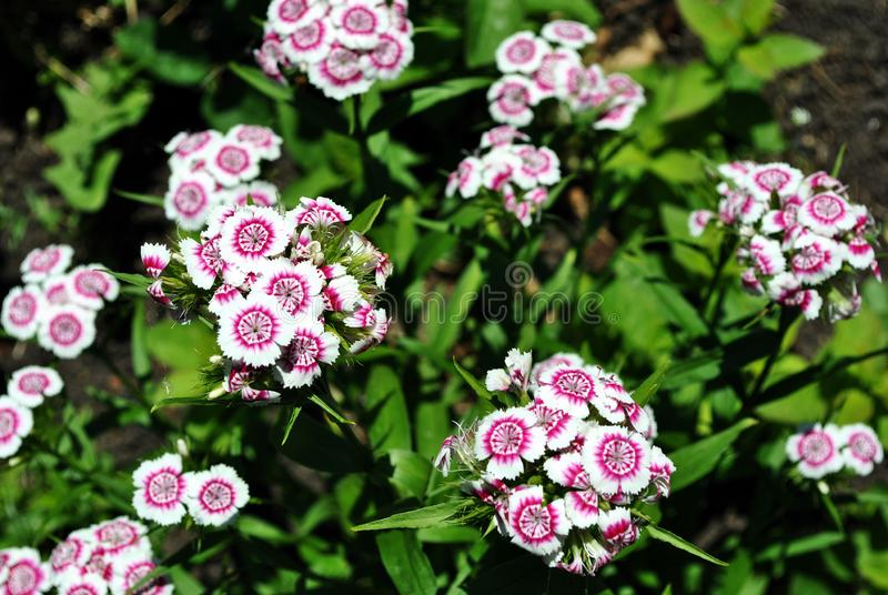 Dianthus barbatus Sweet William flowers blooming on glade, top view, green soft background. Bokeh royalty free stock photos