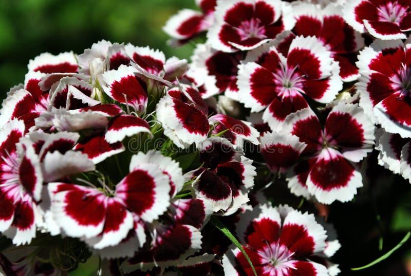 Dianthus barbatus Sweet William flowers blooming, top view close up macro detail, green soft background. Bokeh stock photo
