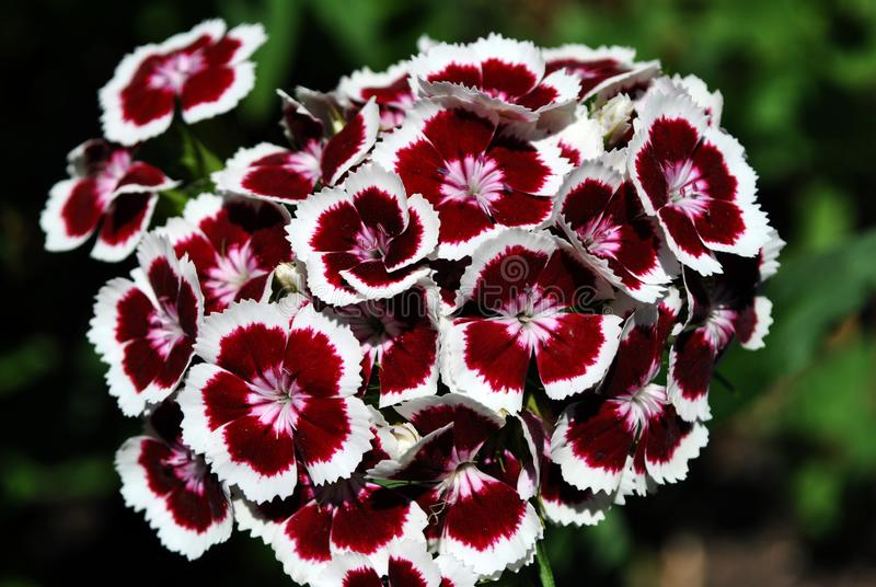 Dianthus barbatus Sweet William flowers blooming, top view, green soft background. Bokeh stock images