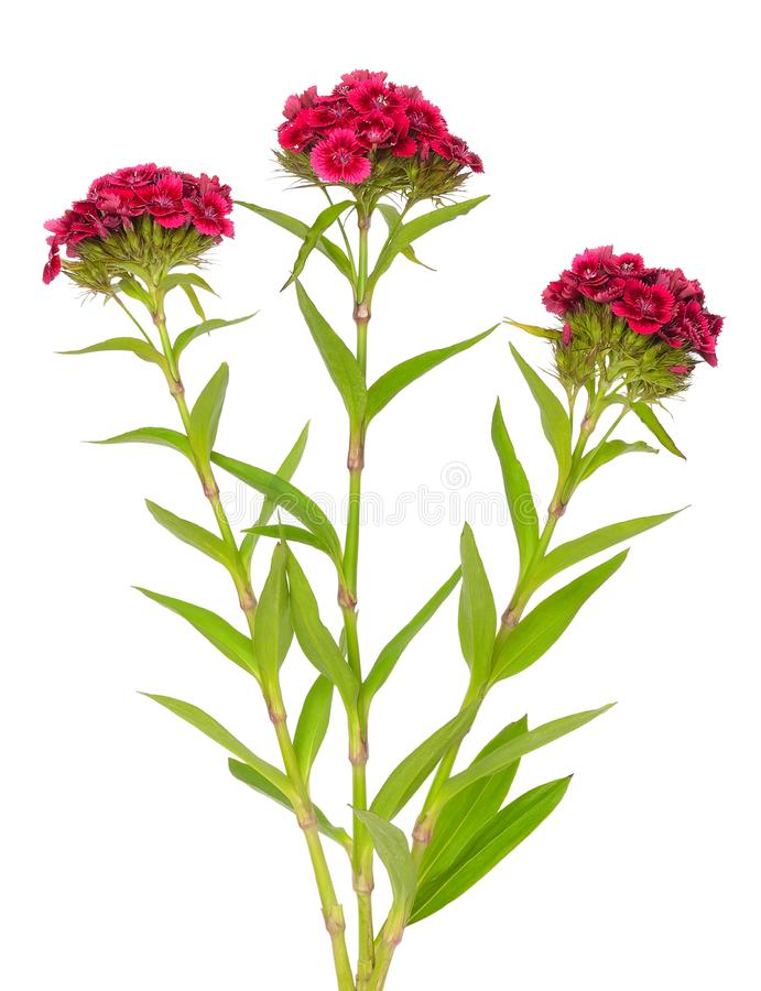 Dianthus barbatus Sweet William flowers. Isolated on white background royalty free stock photography