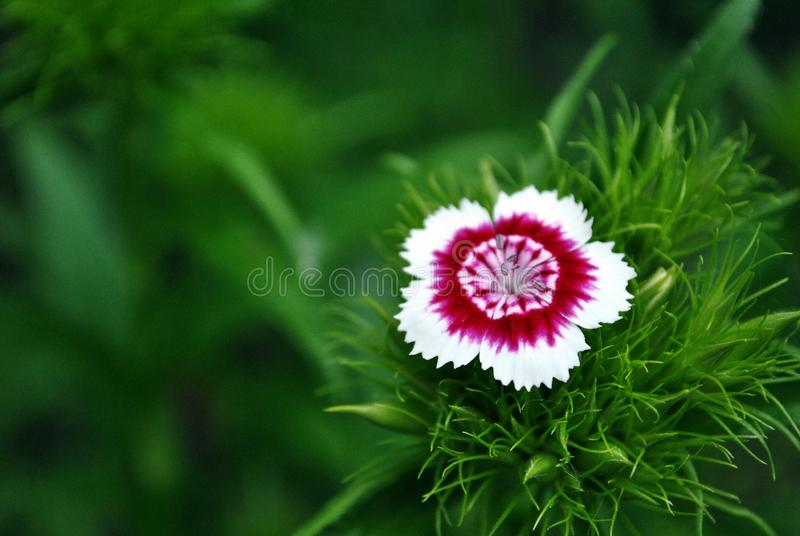 Dianthus barbatus Sweet William one flower blooming, green soft background. Bokeh stock photos