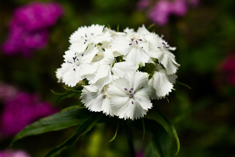 Dianthus barbatus, sweet William,[2] is a species of flowering plant in the carnation family, native to southern Europe and parts. Dianthus barbatus, sweet royalty free stock images