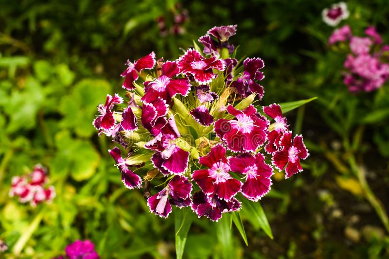 Dianthus barbatus, sweet William,[2] is a species of flowering plant in the carnation family, native to southern Europe and parts. Dianthus barbatus, sweet stock photo