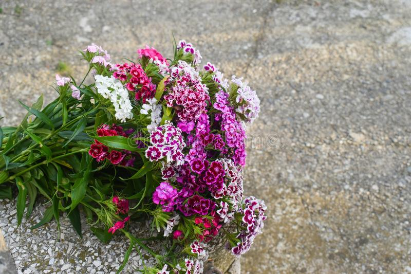 Dianthus barbatus, sweet William,[2] is a species of flowering plant in the carnation family, native to southern Europe and parts. Dianthus barbatus, sweet stock photography
