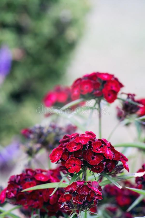 Dianthus barbatus or sweet William. Dianthus barbatus, sweet William, is a species of flowering plant in the carnation family, native to southern Europe and stock images