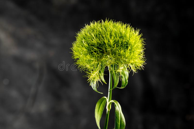 Dianthus barbatus.Turkish carnations - macro photo.Flower on a black background. Dianthus barbatus. Turkish carnations - macro photo. Close-up.Flower on a black stock photo