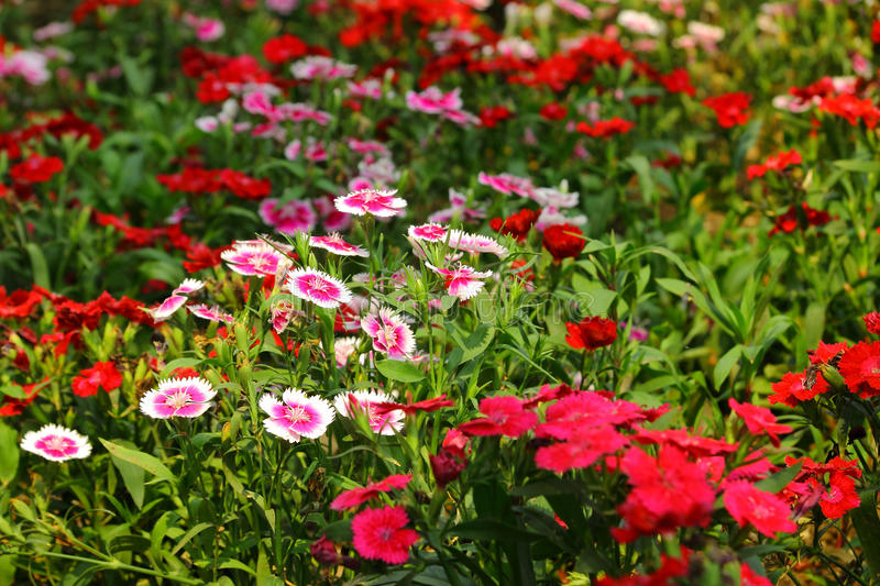 Dianthus. Beautiful dianthus flowers decorative in the garden stock images