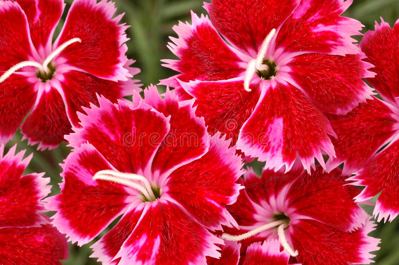 Download Red And Pink Dianthus Brigette Flowers Stock Photo - Image: 13004436