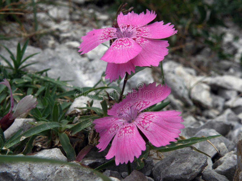 Dianthus callizonus stockbild
