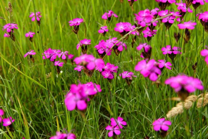 Dianthus callizonus stock photos