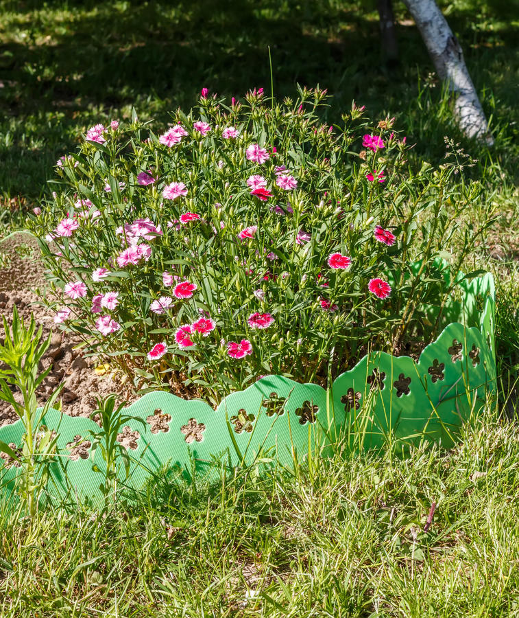 Dianthus (carnation) stock image