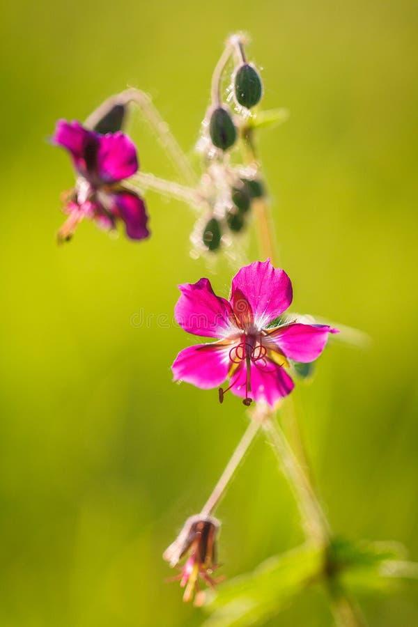 Dianthus carthusianorum, Kartuzjańskie menchie kwitnie w makro- widoku zdjęcia stock