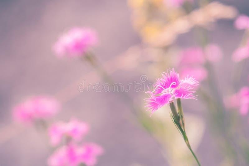 Dianthus Caryophyllus στοκ εικόνες
