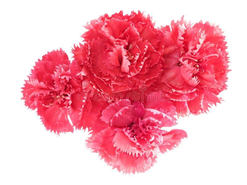 dianthus caryophyllus гвоздики цветет пинк стоковые изображения rf