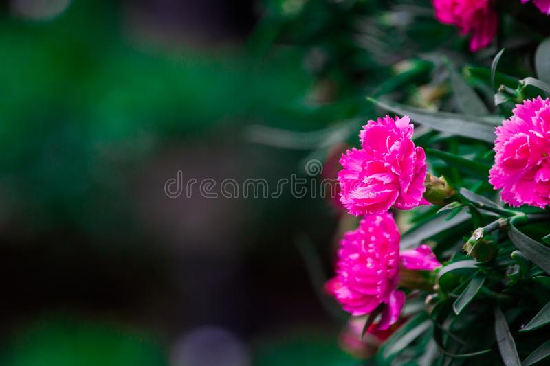 Dianthus caryophyllus L. In ancient Greek popular flower garlands to wear a head to athletes. Dianthus caryophyllus L. widely used in ancient Greece Flower royalty free stock photography