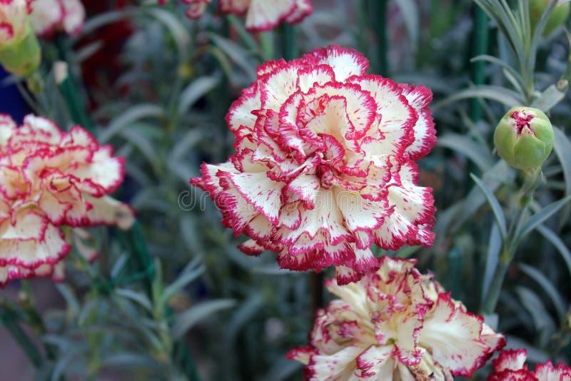 Dianthus caryophyllus Raspberry Ripple stock photography