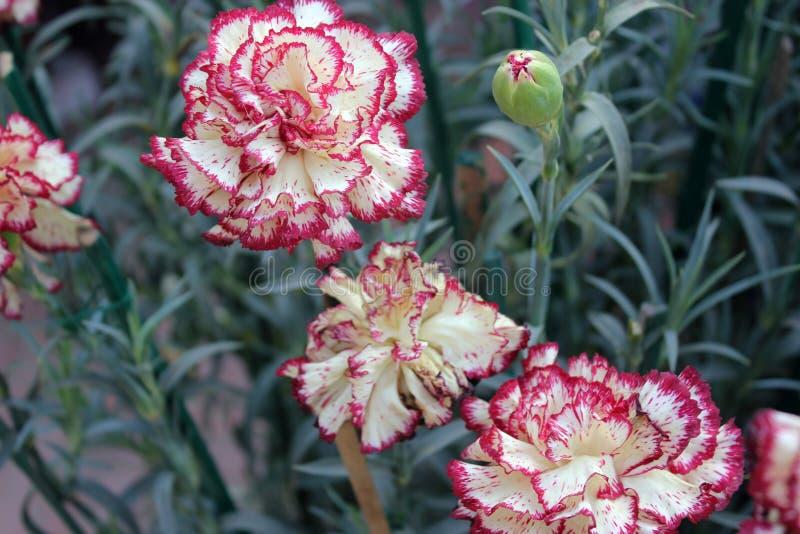 Dianthus caryophyllus Raspberry Ripple royalty free stock photography