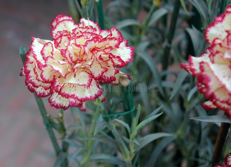 Dianthus caryophyllus Raspberry Ripple stock photos