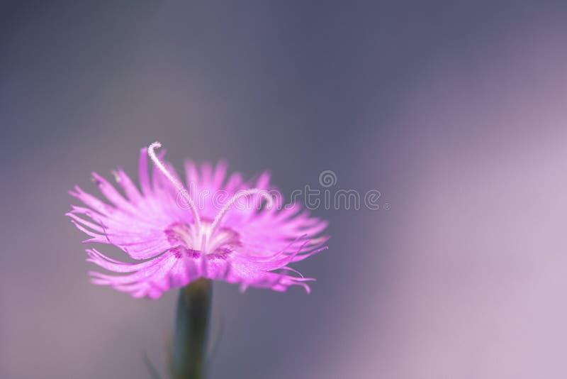 Dianthus caryophyllus. Wild pink flowers dianthus caryophyllus stock image