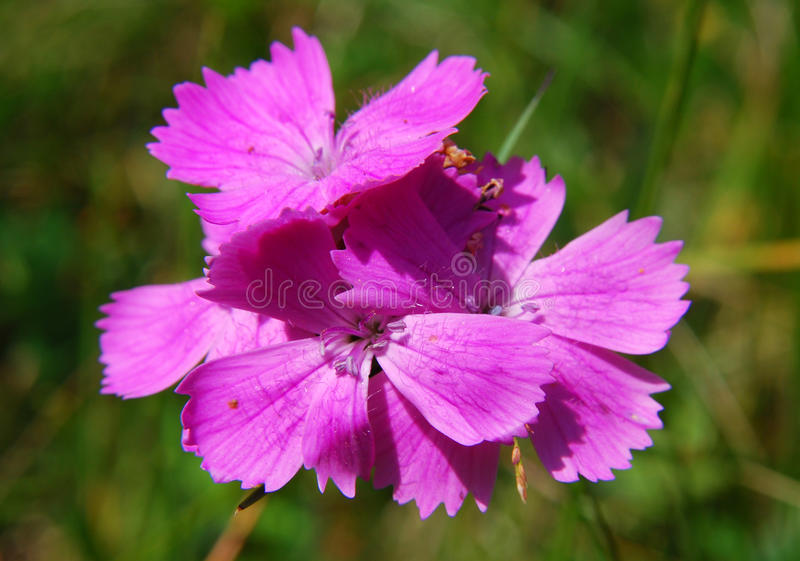 Dianthus (Cernation pink). Dianthus is a genus of about 300 species of flowering plants native mainly to Europe and Asia, with a few species extending south to stock photo