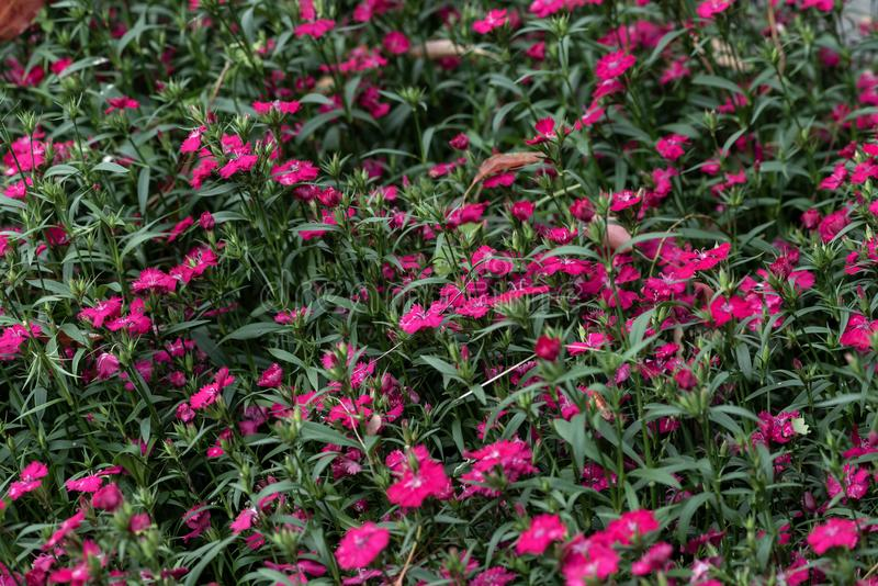 Dianthus chinensis Λ στοκ φωτογραφίες με δικαίωμα ελεύθερης χρήσης