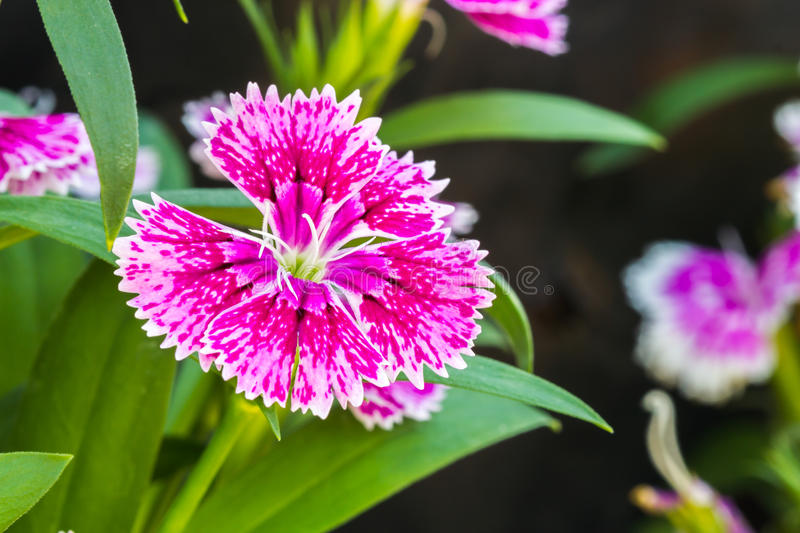 Dianthus chinensis. Beautiful pink and white Dianthus chinensis on the garden stock image
