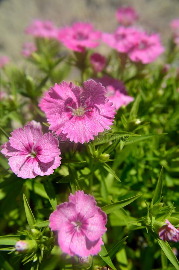 Download Dianthus Chinensis China Pink Stock Photo - Image of greek, flowers: 104289658