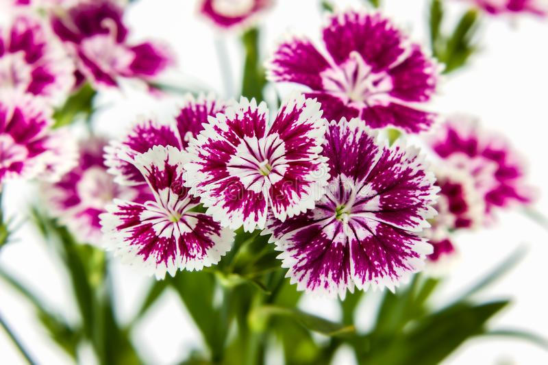 Dianthus chinensis (China Pink) Flowers stock photo