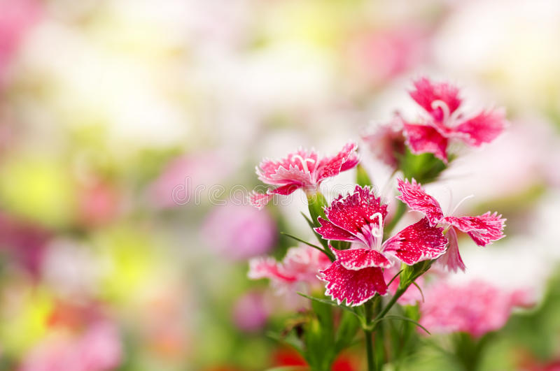 Dianthus chinensis flower royalty free stock image