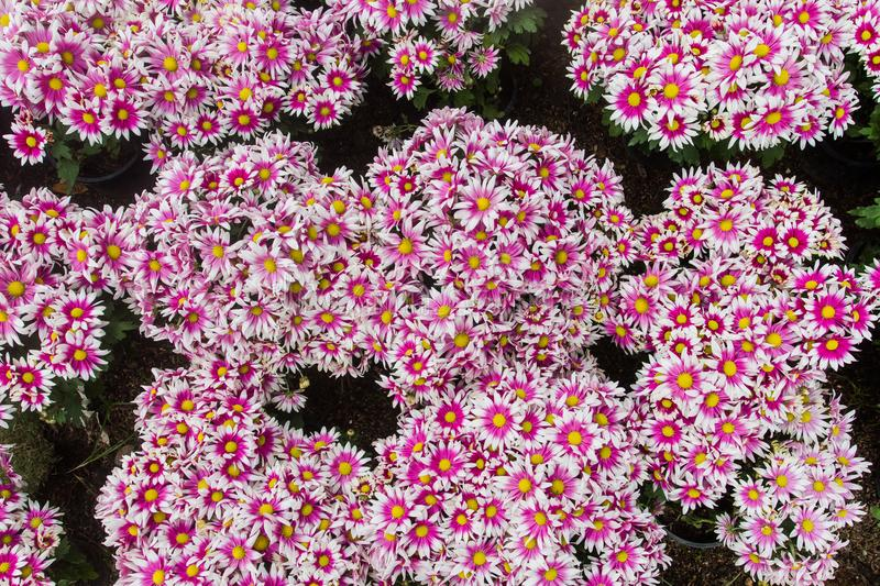 Dianthus chinensis flower as well as currency carnations decorated with flowers. There are native to southern Europe. Dianthus chinensis is a flowering plant stock photography