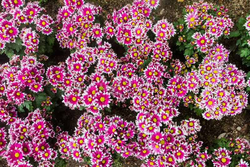 Dianthus chinensis flowers single currency carnation flowers and beautiful eye-catching by originated in southern Europe. Dianthus chinensis is a flowering plant stock image