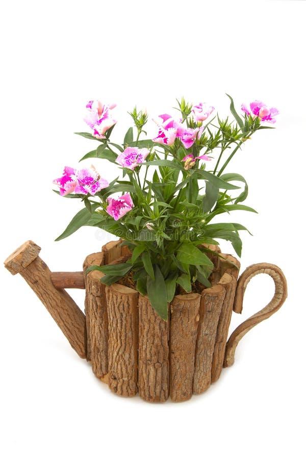 Download Dianthus Chinensis kwiaty obraz stock. Obraz złożonej z kwiat - 41953815