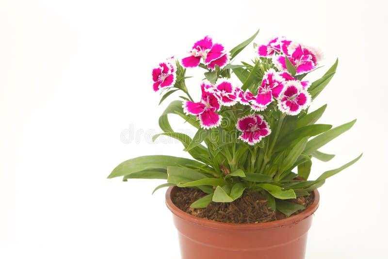 Download Dianthus Chinensis kwiaty zdjęcie stock. Obraz złożonej z park - 41953876