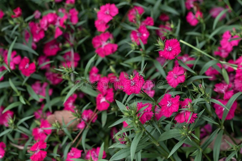 Dianthus chinensis L. Shi Zhuke, a perennial herb of Dianthus, with a height of 30-50 cm, and the whole plant is glabrous and pink green. Stems from roots and royalty free stock image