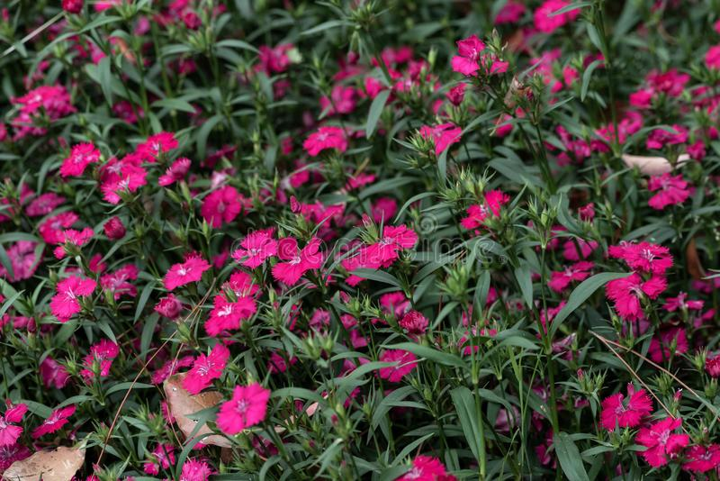 Dianthus chinensis L. Shi Zhuke, a perennial herb of Dianthus, with a height of 30-50 cm, and the whole plant is glabrous and pink green. Stems from roots and stock images