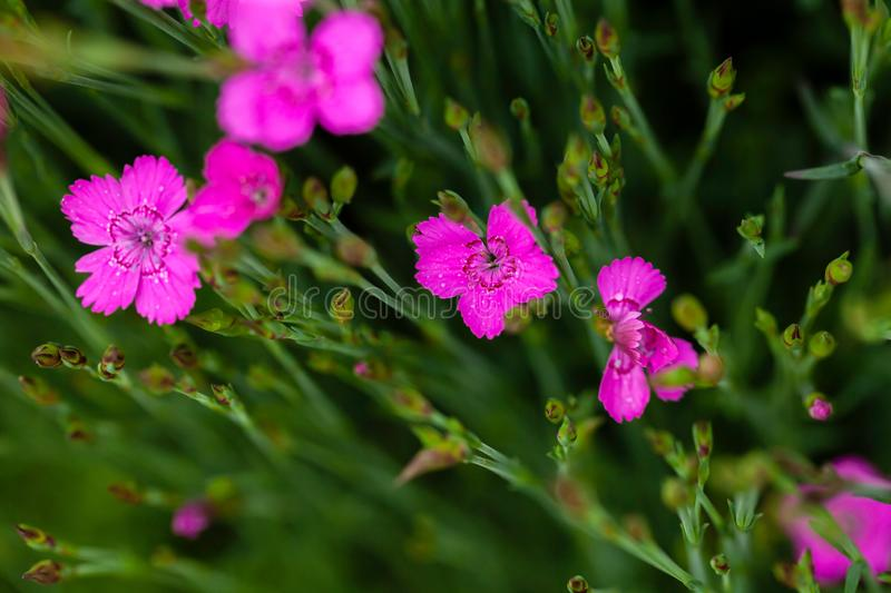 Little pink Dianthus spring flowers. Dianthus Deltoides bright pink little flower with green foliage and shallow depth of field stock image