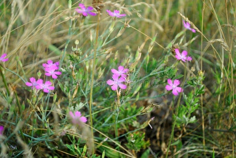 Dianthus deltoides stock images