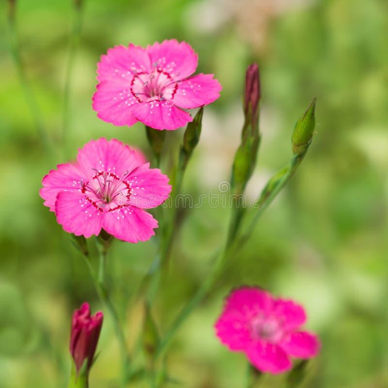 Dianthus deltoides flower. Dianthus pink flower in the garden royalty free stock image