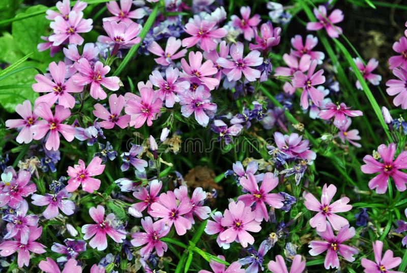 Dianthus deltoides maiden pink flowers background, close up detail stock photos