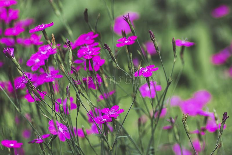 Dianthus deltoides maiden pink flowers and green leaves background, close up detail royalty free stock image