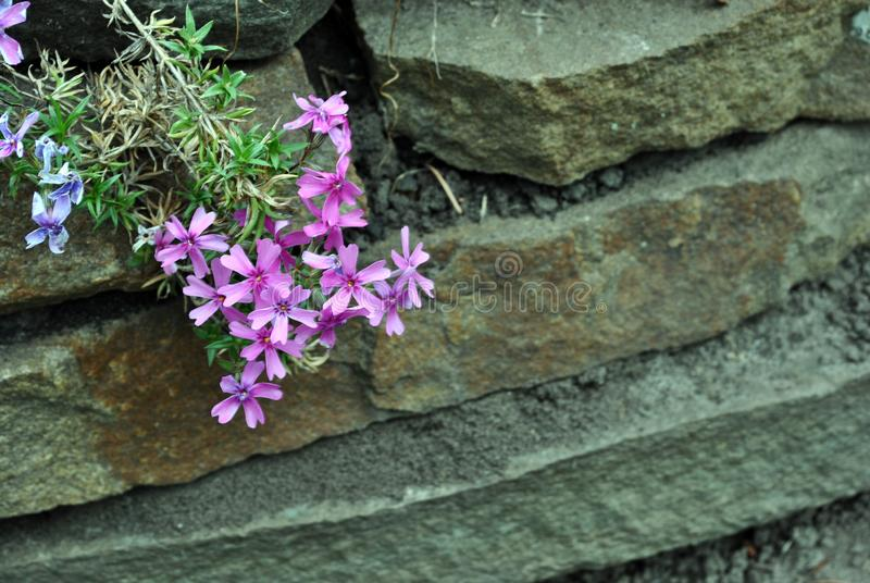 Dianthus deltoides maiden pink flowers on rocks background, close up stock images