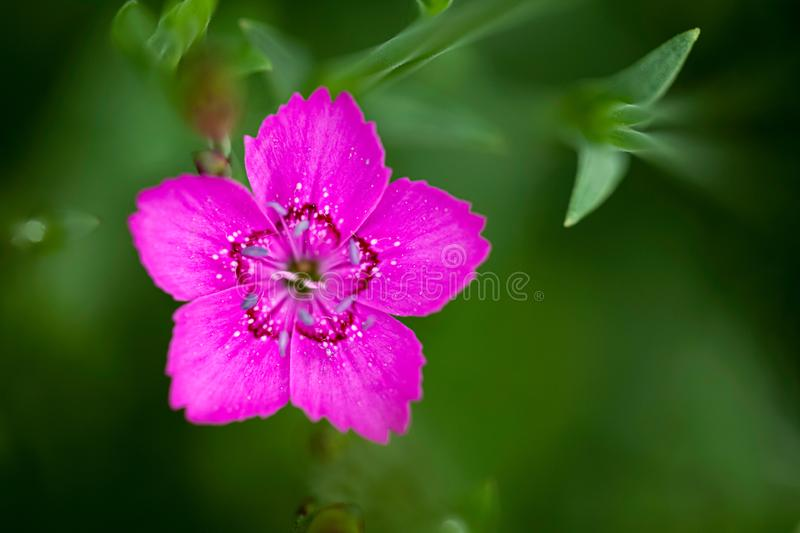 Dianthus Deltoides single pink flower close up stock images