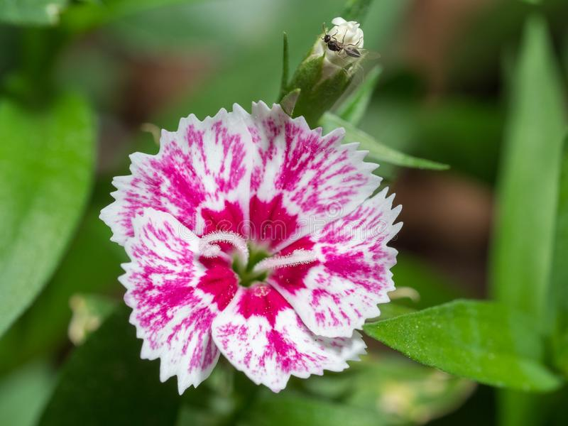 Dianthus. Purple and pink, with white, flower with curled stamen stock photos